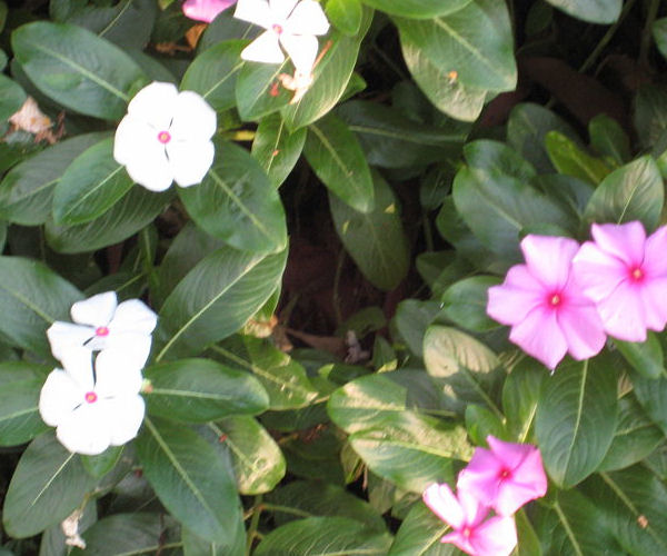 Barwinek różowy