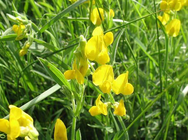 Groszek żółty