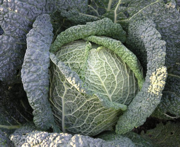 Kapusta warzywna włoska