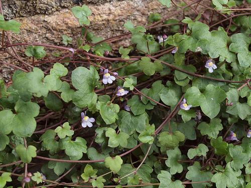 Cymbalaria bluszczykowata