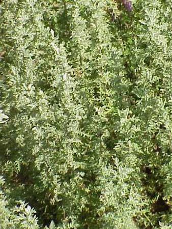 Bylica pontyjska